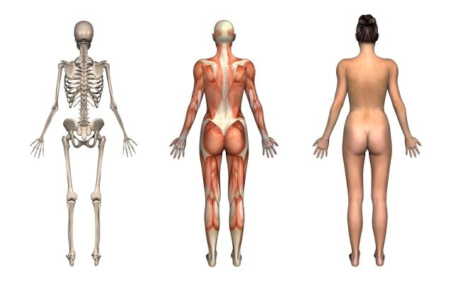 muskelogskjelett